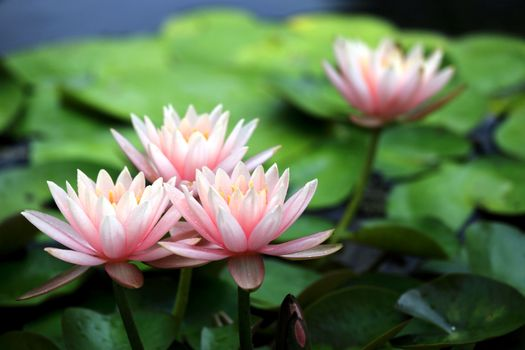 Фото бесплатно цветы, вода, лилии