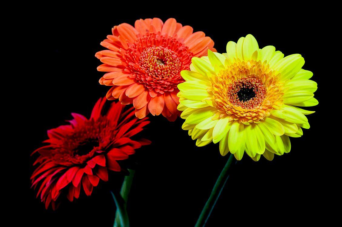 Фото бесплатно герберы, цветы, чёрный фон, гербера, разноцветные, красиво, флора, яркость, цветы - скачать на рабочий стол