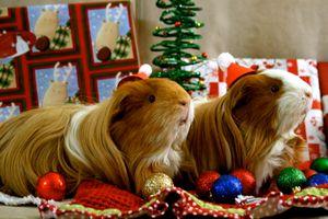 Заставки новогодние морские свинки, животные, морская свинка