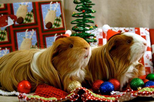 Фото бесплатно новогодние морские свинки, животные, морская свинка