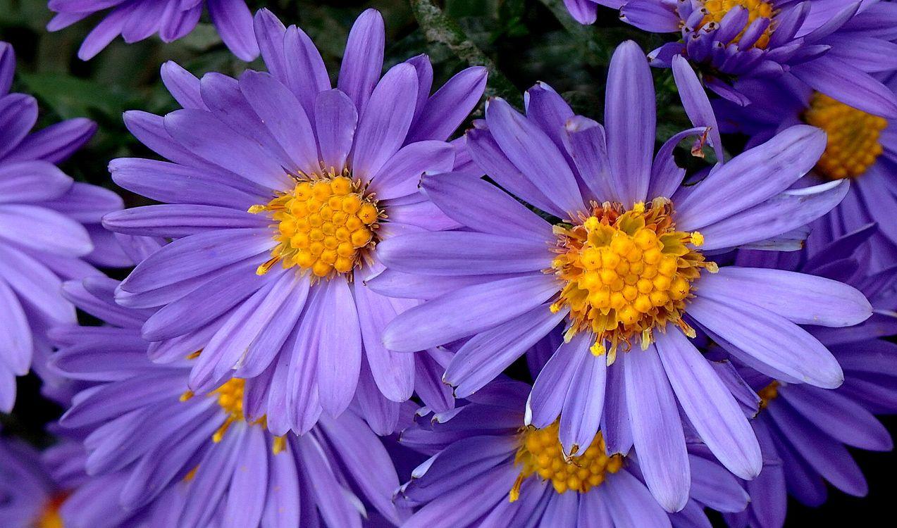 Фото бесплатно Aster, цветы, астры - на рабочий стол
