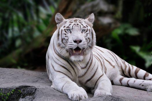 Белый тигр отдыхает на скале