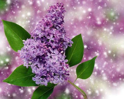 Photo free a bouquet of lilac, flora, lilac