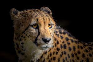 Заставки Портрет гепарда, гепард, хищник