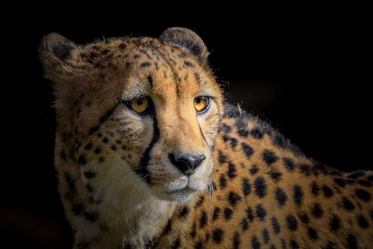Photo free Portrait of a cheetah, cheetah, predator