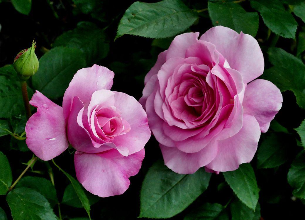Роза - флора · бесплатное фото