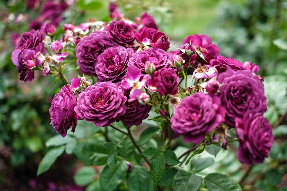 Фото бесплатно роза, розы, пурпурные розы - на рабочий стол