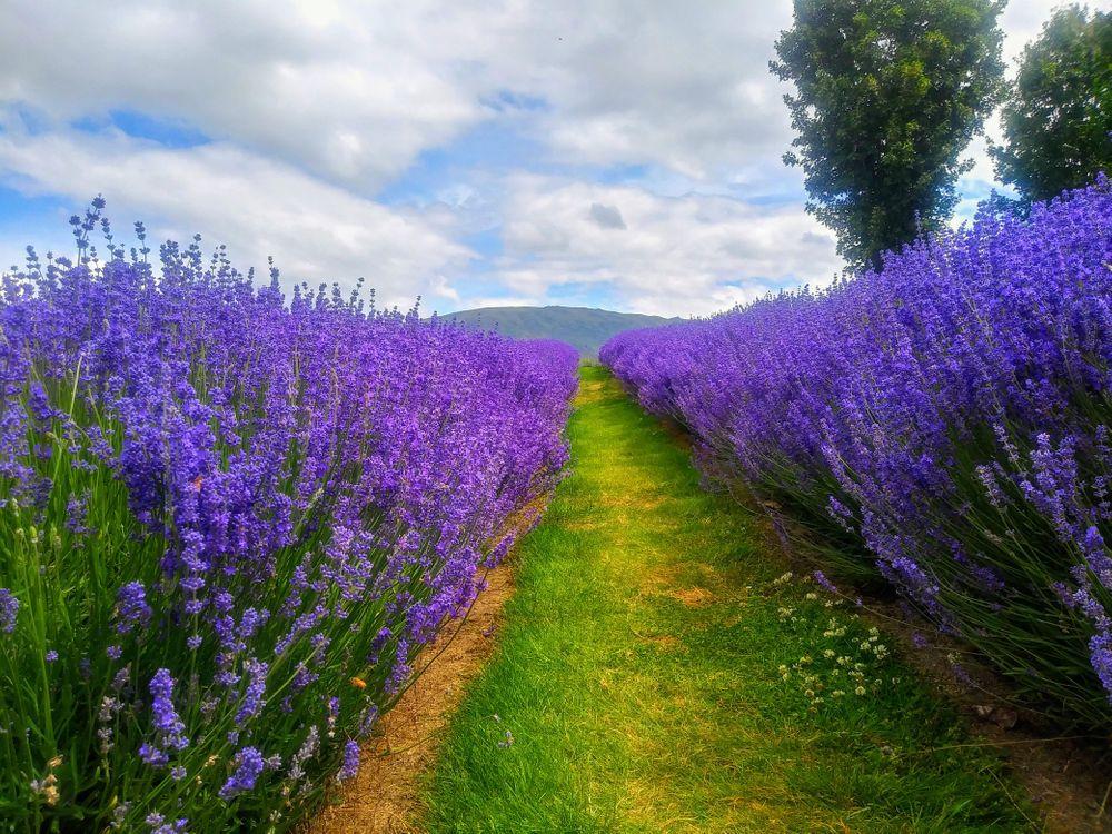 Фото бесплатно Лавандовая Ферма, Новая Зеландия, поле, дорога, цветы, лаванда, пейзажи