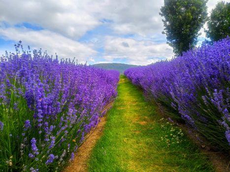 Фото бесплатно Лавандовая Ферма, Новая Зеландия, поле