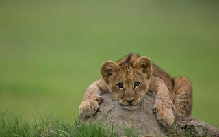 Заставки lion, cub, львенок