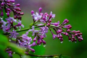 Бесплатные фото сирень,цветы,ветка,капли,макро,флора