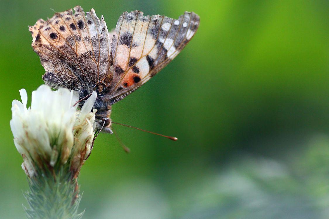 Фото бесплатно бабочка, насекомое, бабочки и бабочки, ликанид, щёточная бабочка, беспозвоночный, макросъемка, опылитель, крупным планом, дикая природа, организм, нектар, моль, членистоногие, насекомые