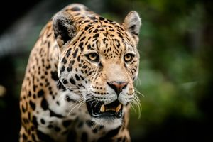 Photo free Amur Leopard, leopard, big cat