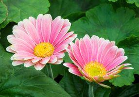 Фото бесплатно Pink Daisy, цветы, флора