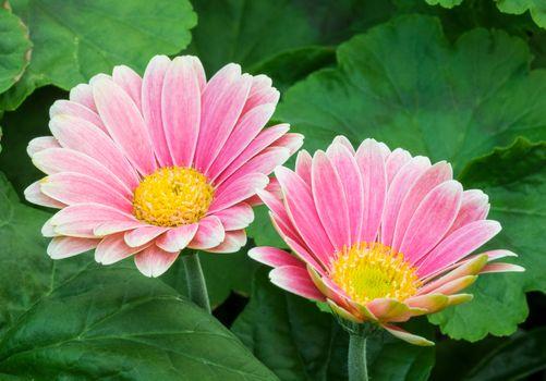 Заставки Pink Daisy,цветы,флора
