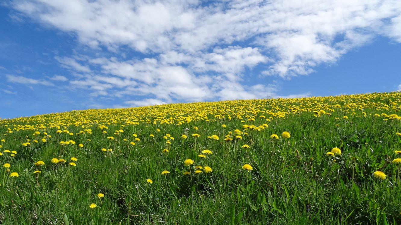 Фото бесплатно поле, одуванчики, весна, цветы, цветение, холм, небо, природа, трава, пейзаж, пейзажи
