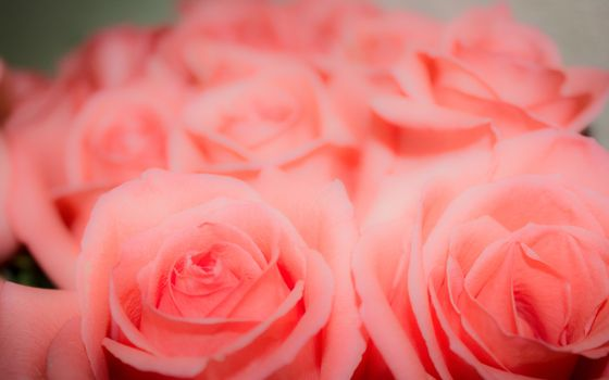 Photo free rose, love, pink