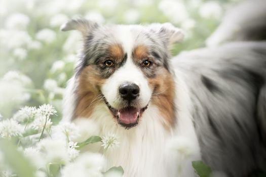 Фото бесплатно фотография, австралийцы, собака