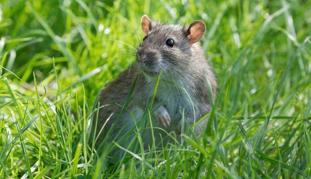 Фото бесплатно крыса, грызун, трава