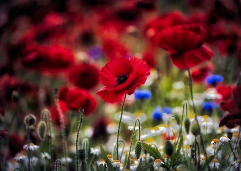 Маковый цветок крупным планом · бесплатное фото