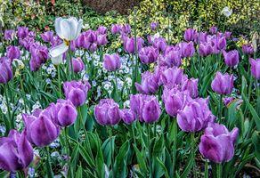 Большое поле из тюльпанов