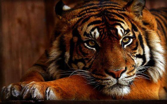 Угрюмый тигр · бесплатное фото