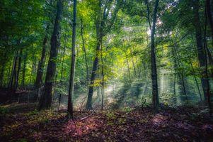 Фото бесплатно лес, деревья, солнечные лучи
