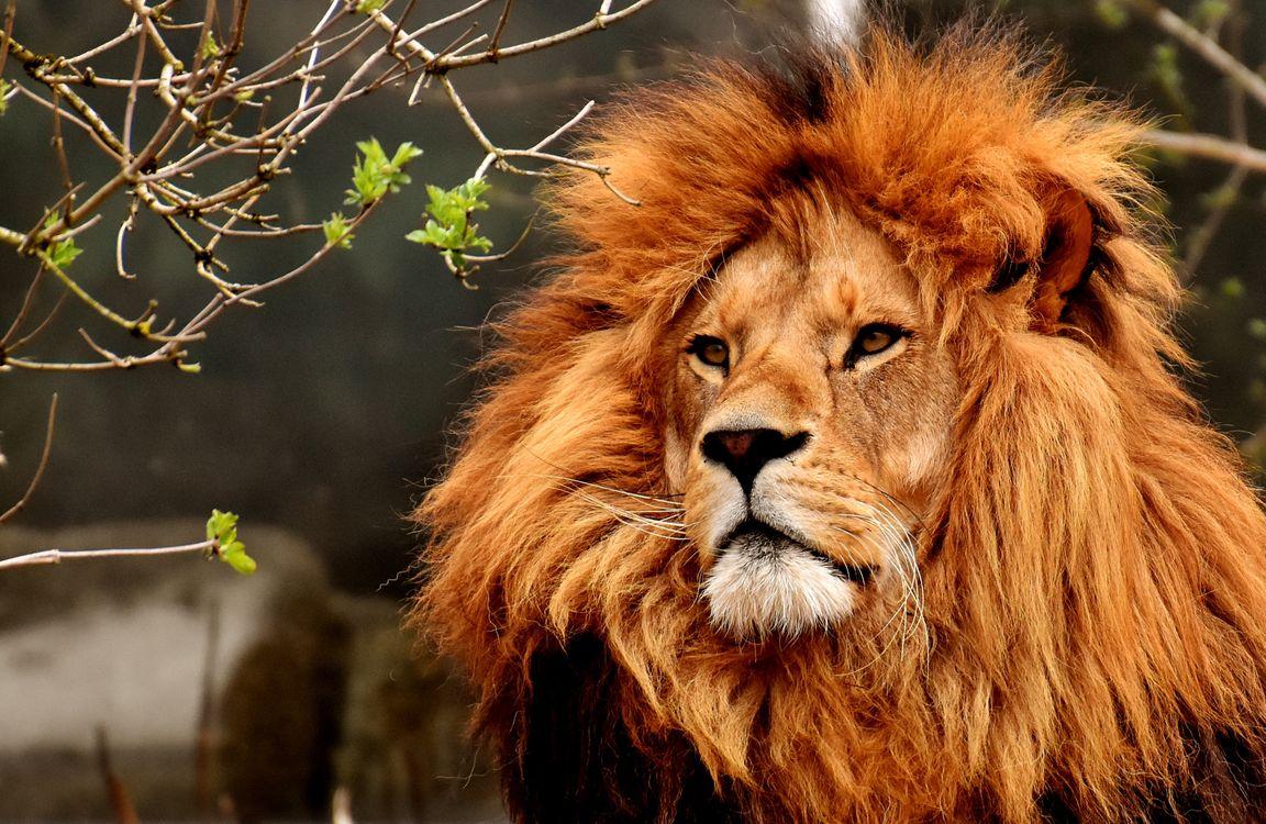 Фото бесплатно лев, хищник, опасно - на рабочий стол