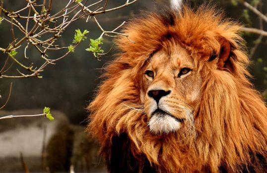Бесплатные фото лев,хищник,опасно,грива,большой кот