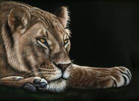 Бесплатные фото львица,хищник,lioness,морда,взгляд,чёрный фон,лапы