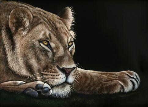 Photo free lioness, predator, snout