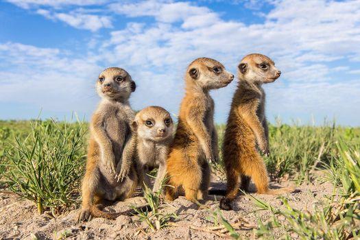 Фото бесплатно meerkat, детеныши, suricate