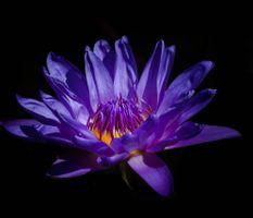 Цветок старой лилии