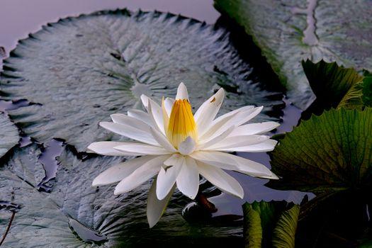 Пруд белых лилий