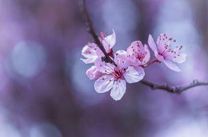 Cherry sprig · free photo