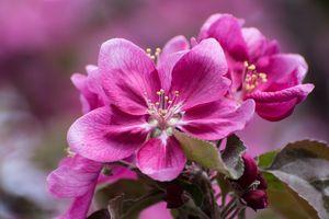 Photo free apple blossom, petals, pink