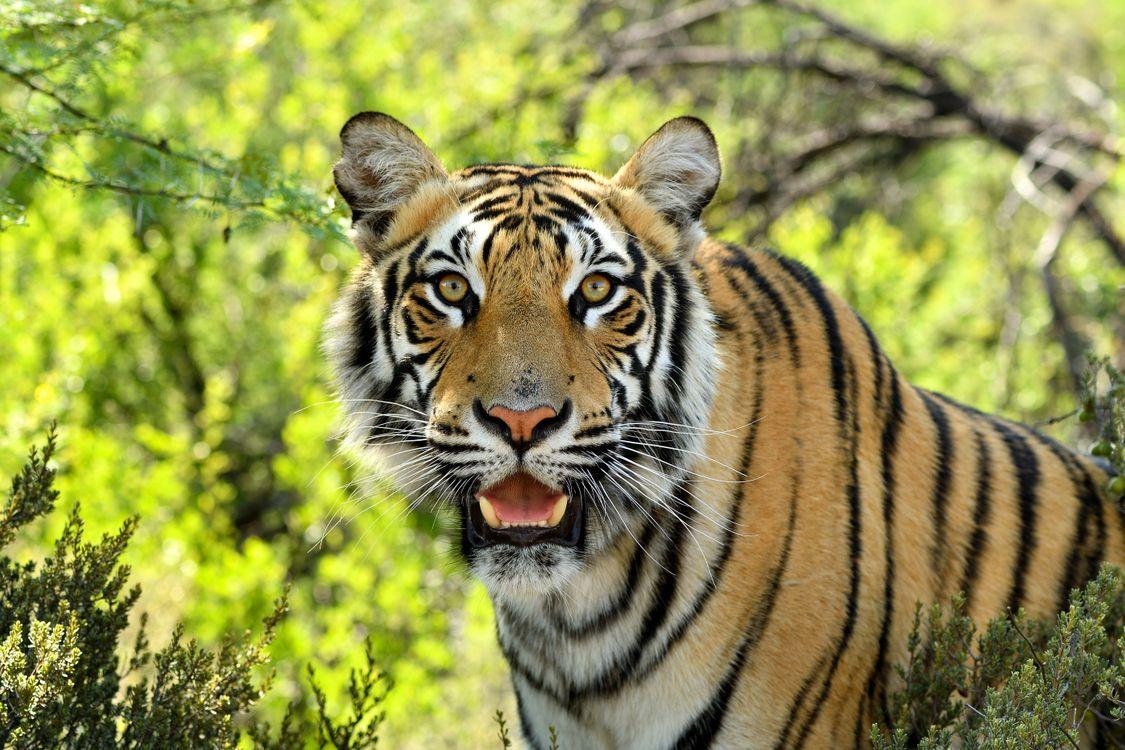Фото бесплатно Bengal Tigers, взгляд, смотрит - на рабочий стол