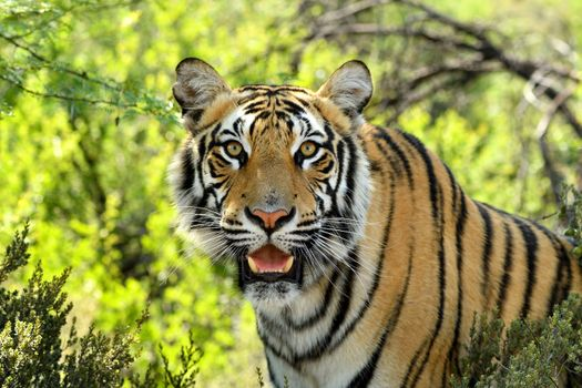 Photo free Bengal Tigers, look, looking