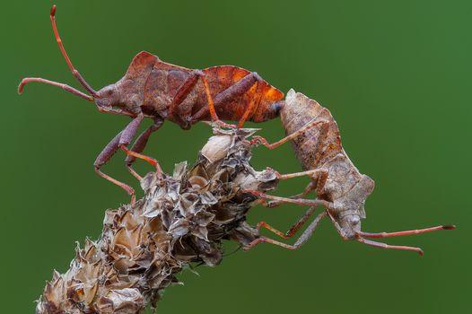 Бесплатные фото Gonocerus acuteangulatus,Hemiptera,Несколько коробочных жуков