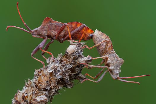 Photo free Gonocerus acuteangulatus, Hemiptera, Several boxed beetles