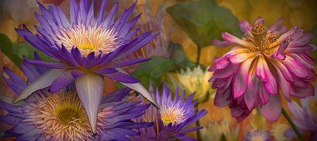 Фото бесплатно панорама, кувшинка, цветочная композиция