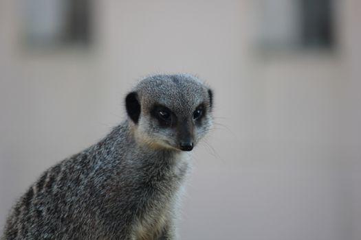 Photo free Meerkat, Ivan, meerkat