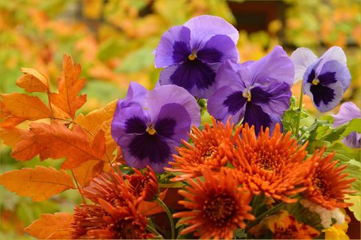Бесплатные фото осенний букет,цветы,виола,хризантемы,флора,осенние листья