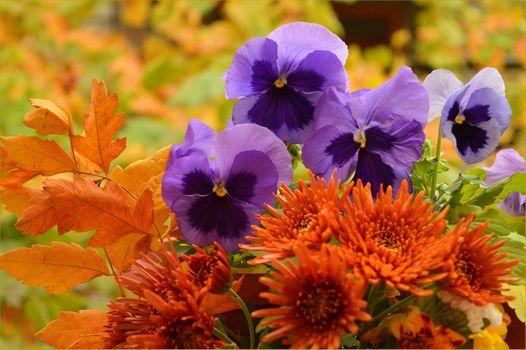 Фото бесплатно осенний букет, цветы, виола