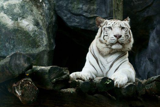Photo free white tiger, tiger, animals