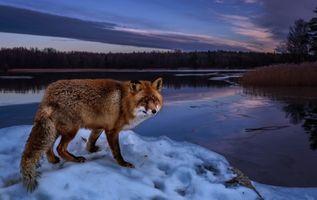 Заставки лиса, зима, озеро