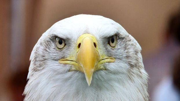 Бесплатные фото птица,крыло,дикая природа,портрет,клюв,закрыть,фауна,хищник,хищная птица,лысый орел,крупным планом,позвоночный
