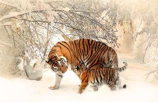 Бесплатные фото тигр,хищник,зима,снег,тигрица,тигрёнок,забота и ласка
