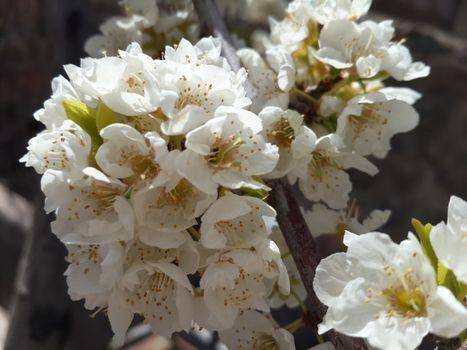 Photo free white spring flowers, petals, close