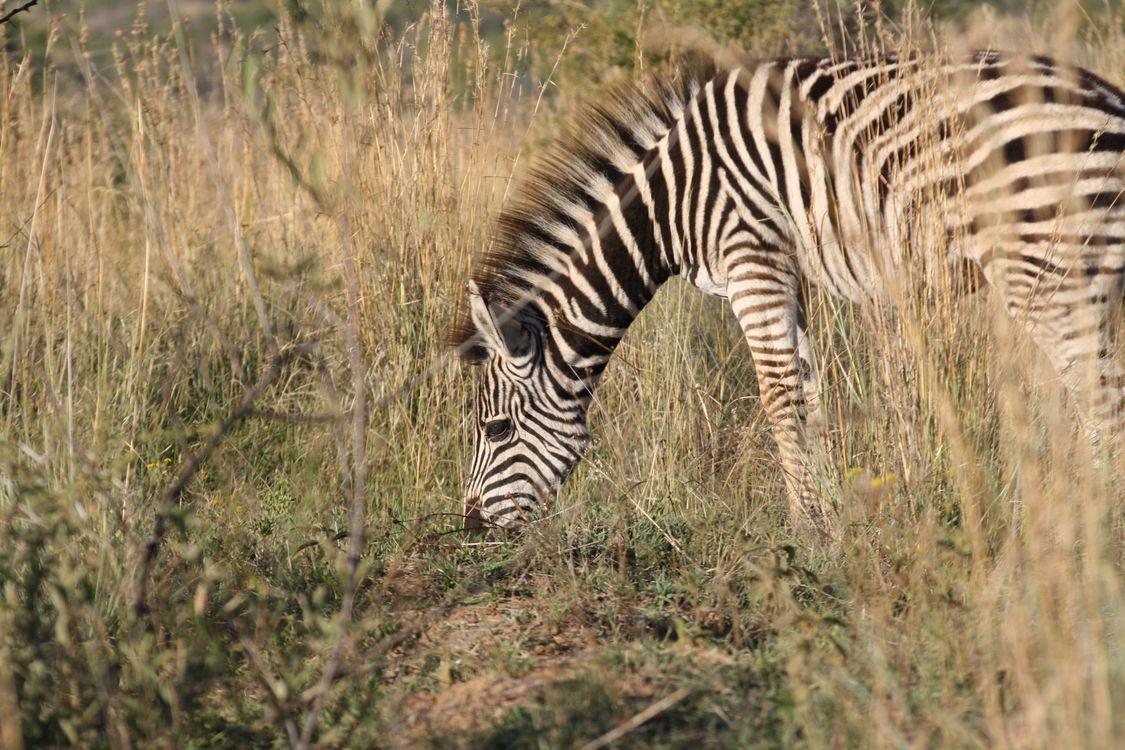 Фото бесплатно зебра, ели, травы - на рабочий стол
